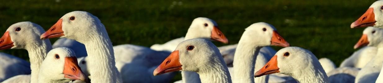 Indemnisation grippe aviaire