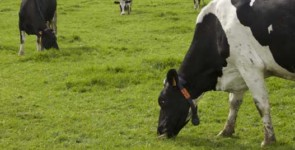 réforme vaches laitières